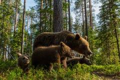 Brunbjörnfamilj i finlandssvensk skog Royaltyfri Bild