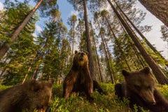 Brunbjörnfamilj i finlandssvensk skog Fotografering för Bildbyråer