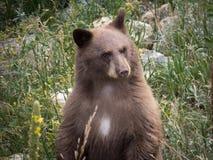 Brunbjörngröngöling Fotografering för Bildbyråer