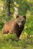Brunbjörngröngöling Arkivfoto