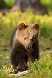 Brunbjörngröngöling Royaltyfria Foton
