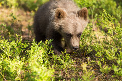 Brunbjörngröngöling i finlandssvensk skog Royaltyfri Fotografi