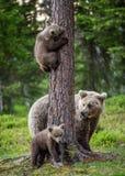 Brunbjörngröngölingar klättrar ett träd Hon-björn och gröngölingar i sommarskogen royaltyfri foto