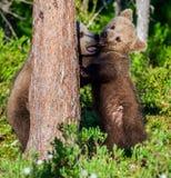 Brunbjörngröngölingar som slåss playfully fotografering för bildbyråer