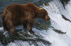 Brunbjörngrisslybjörn som ser den laxKatmai nationalparken Alaska USA.  Arkivbilder