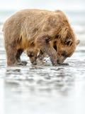 Brunbjörnmoder och gröngöling som gräver för musslor Arkivbild