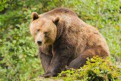 Brunbjörnnärbild Arkivbild