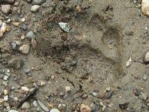 Brunbjörnspår i Alaska Arkivbilder