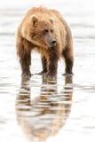 Brunbjörnstående Royaltyfri Foto