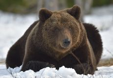 Brunbjörn (Ursusarctos) i vårskog Royaltyfri Bild