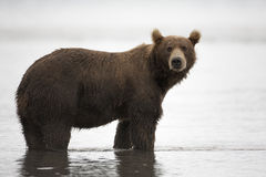 Brunbjörnen är i vattnet Fotografering för Bildbyråer