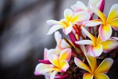 Brunch του frangipani, Lantom, λουλούδι plumeria Στοκ Φωτογραφία