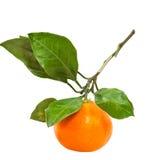 Brunch φρέσκο abkhazian tangerine που απομονώνεται με Στοκ Φωτογραφία