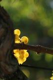 Brunch amarillo de la uva Foto de archivo