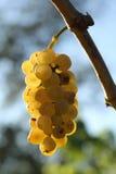 Brunch amarillo Eslovenia de las uvas Foto de archivo