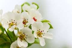 Brunch of apple tree. Close-up of blooming brunch of apple tree royalty free stock image