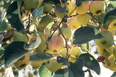 A brunch of apple tree with apples Royalty Free Stock Photo
