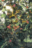 A brunch of apple tree with apples Royalty Free Stock Images