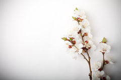 Brunch of apricot flowers Stock Image