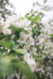 A brunch of blooming apple tree Stock Photos