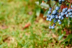 Brunch of blue berries on blurred nature background with copy space close up. Side vie Stock Photography