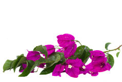 Brunch of bougainvillea flowers. Bougainvillea violet flowers brunch  isolated on white background Stock Images