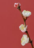 Brunch cherry blossoms Royalty Free Stock Photos
