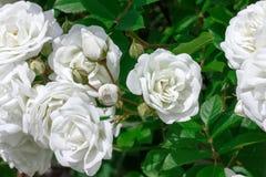 Brunch con la flor de la rosa del blanco y la hoja verde Imagenes de archivo