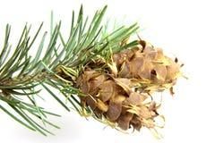 Brunch d'arbre de Noël avec le cône de pin Photographie stock libre de droits