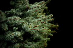 Brunch d'arbre de sapin, plan rapproché Photographie stock libre de droits