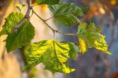 Brunch d'arbre sur le fond du soleil Photos libres de droits