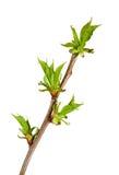 Brunch de bourgeonnement de cerisier image libre de droits