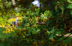Brunch de chêne sur Sunny Autumn Day Photos stock