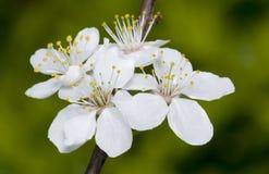 Brunch de floraison d'arbre photos stock