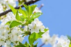 Brunch de floraison de cerisier Photos stock