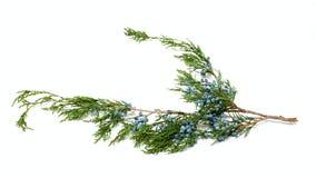 Brunch de la planta verde Imagen de archivo
