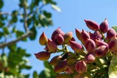Brunch de pistache Photo libre de droits