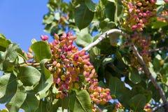 Brunch de pistache Photos libres de droits