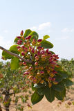 Brunch de pistache Photographie stock libre de droits