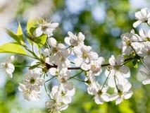 Brunch del árbol con los flores blancos de la primavera Foto de archivo libre de regalías