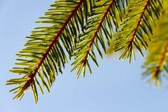 Brunch del árbol de abeto. Fotografía de archivo