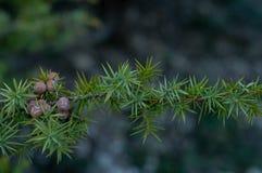 Brunch del ginepro Albero sempreverde fotografie stock
