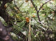 Brunch del pino Fotografia Stock Libera da Diritti