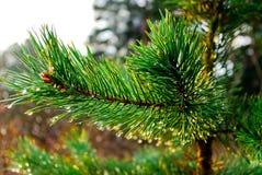 Brunch del pino Immagini Stock Libere da Diritti