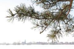 Brunch del pino Foto de archivo libre de regalías