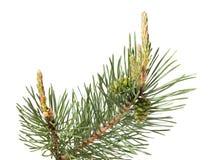 Brunch del pino aislado en blanco Imágenes de archivo libres de regalías
