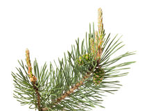 Brunch del pino isolato su bianco immagini stock libere da diritti