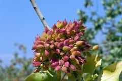 Brunch del pistacho Foto de archivo libre de regalías