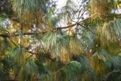 Brunch del árbol de pino entre las luces y las sombras Fotografía de archivo