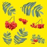 brunch del serbal con las bayas y las hojas aisladas con los grupos Foto de archivo